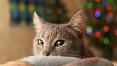 Photo of 8 Ways To Enjoy The Holiday Season With Your Cat