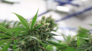 Photo of 5 Health Benefits of Cannabinol