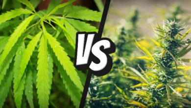 Photo of What's the difference between hemp and cannabis?
