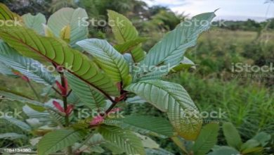 Photo of 5 Pros and Cons of Using Kratom Green Malay